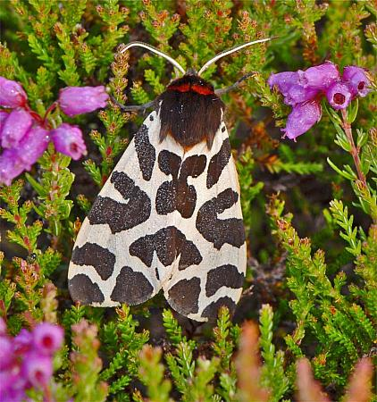 72.026 Garden Tiger, Arctia caja, Co Wexford