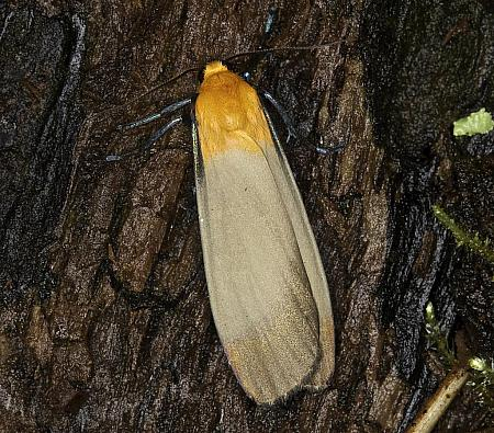 72.041 Four-spotted Footman, Lithosia quadra, male, Co Louth