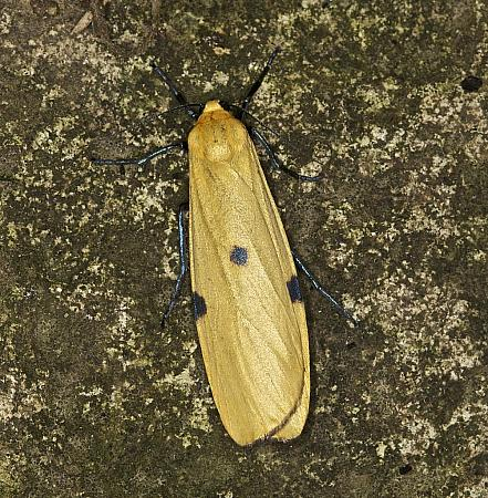 72.041 Four-spotted Footman, Lithosia quadra, female, Co Louth
