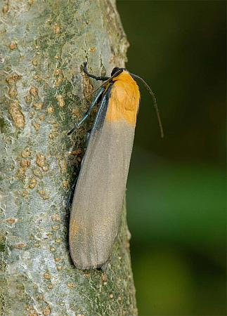 72.041 Four-spotted Footman, Lithosia quadra, male, Co Wexford