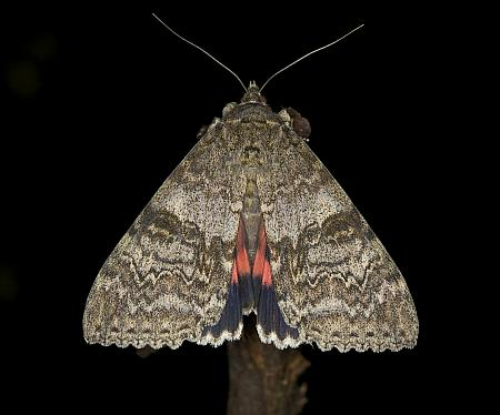 72.078 Red Underwing, Catocala nupta, Co Louth
