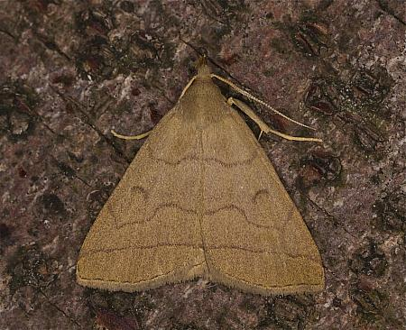 Fan-foot, Herminia tarsipennalis, Co Louth