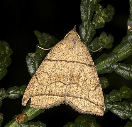 Small Fan-foot, Herminia grisealis, Co Louth