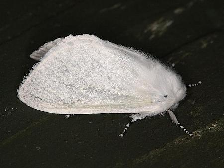 72.009 White Satin Moth, Leucoma salicis, Co. Dublin