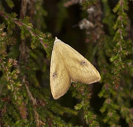 Straw Dot, Rivula sericealis, Co Louth