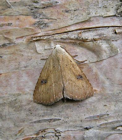 72.002 Straw Dot, Rivula sericealis, Co Wexford