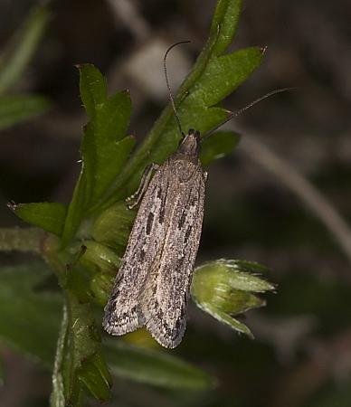 Neofaculta ericetella, Co Louth