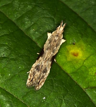 35.018 Hypatima rhomboidella, Co Louth