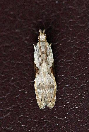 35.018 Hypathema rhomboidella, Co. Donegal