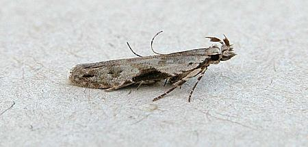 35.018 Hypatima rhomboidella, Co Wexford