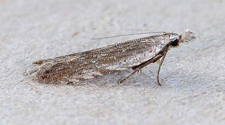 35.02 Anarsia spartiella, Co Wexford