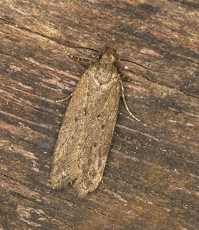 35.04 Bryotropha terrella, Co Louth
