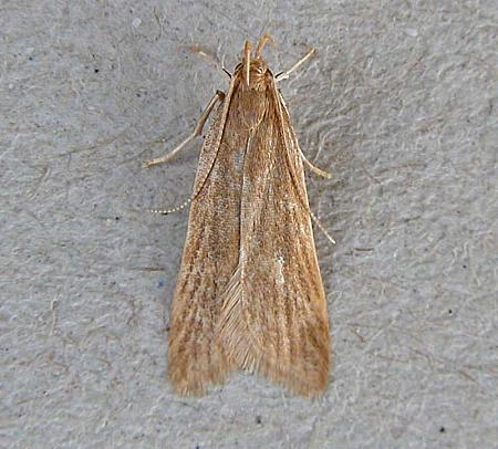 35.031 Helcystogramma rufescens, Co Wexford