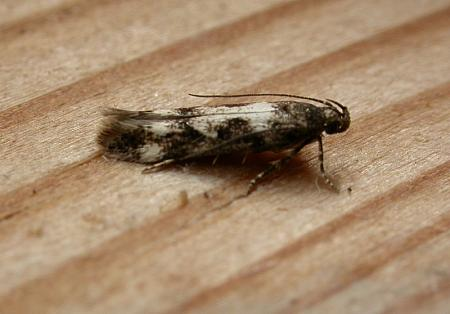 35.13 Caryocolum vicinella, Co. Cork