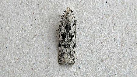 35.151 Carpatolechia proximella, Co Wexford