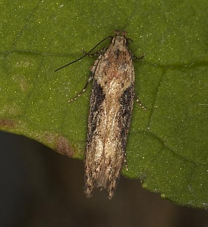 35.123 Scrobipalpa costella, Co Louth