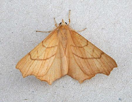70.233 August Thorn, Ennomos quercinaria, Co Wicklow