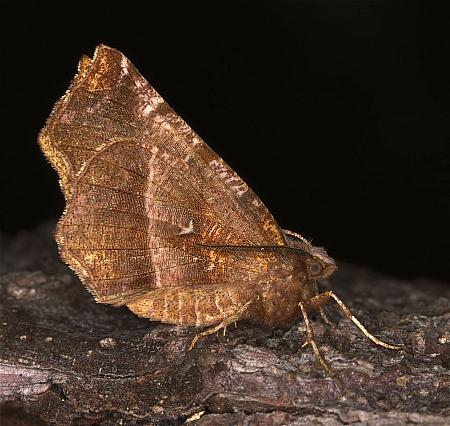 Early Thorn, Selenia dentaria, Co Louth
