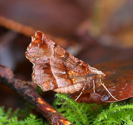 Early Thorn, Selenia dentaria, Co Leitrim