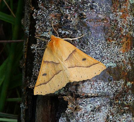 Scalloped Oak, Crocallis elinguaria, Co Donegal