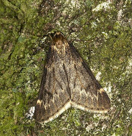 March Moth, Alsophila aescularia, Co Louth