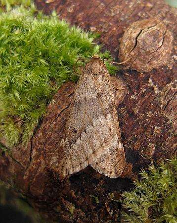 March Moth, Alsophila aescularia, Co Donegal