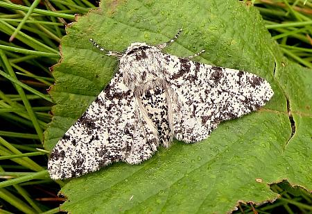 Peppered Moth, Biston betularia, Co Antrim
