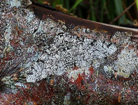 Peppered Moth, Biston betularia, Co Donegal