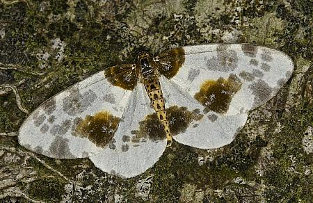 70.206 Clouded Magpie, Abraxas sylvata, Co Louth
