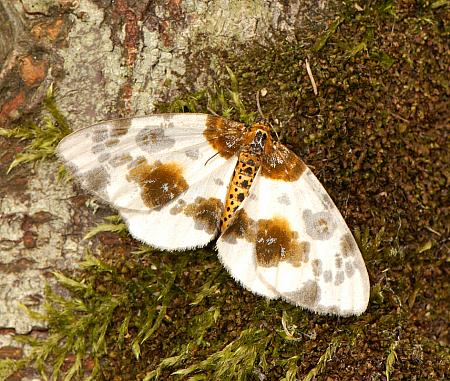 70.206 Clouded Magpie, Abraxas sylvata, Co Wexford