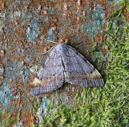 Tawny-barred Angle, Macaria liturata, Co Leitrim