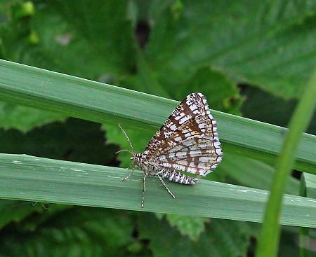 Latticed Heath, Chiasmia clathrata, Co Leitrim