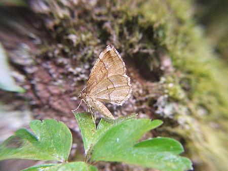 70.221 Little Thorn Cepphis advenaria, Co. Clare
