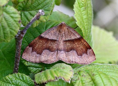 Barred Umber, Plagodis pulverari, Co.Donegal