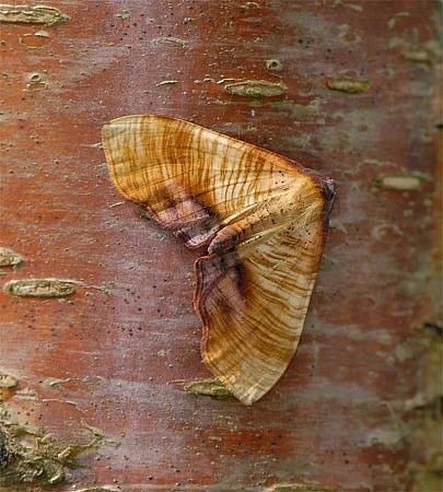 70.224, Scorched Wing, Plagodis dolabraria, Co Wexford
