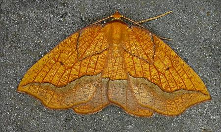 70.227 Bordered Beauty, Epione repandaria, Co. Wicklow