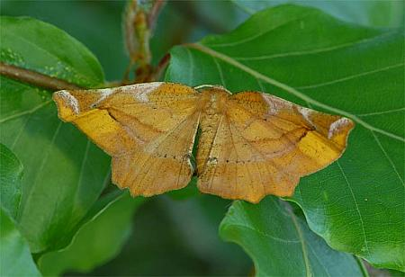 70.231 Lilac Beauty, Apeira syringaria, Co Wexford