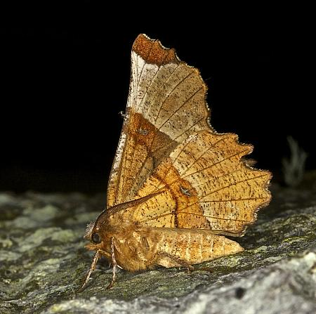 70.238 Lunar Thorn, Selenia lunularia, Co Louth