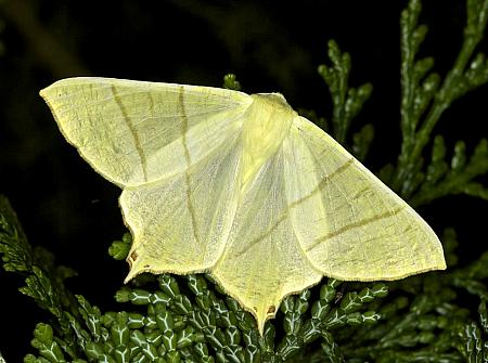 70.243 Swallow-tailed Moth, Ourapteryx sambucaria, Co Louth
