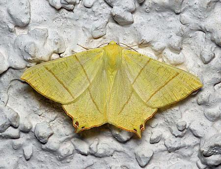 Swallow-tailed Moth, Ourapteryx sambucaria, Co Leitrim