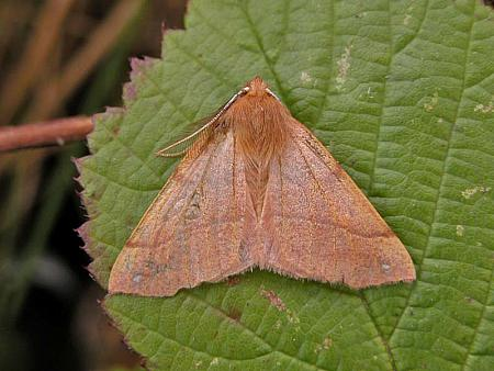 70.244 Feathered Thorn, Colotois pennaria, Co Wicklow