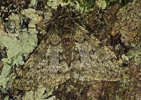 70.247 Pale Brindled Beauty, Phigalia pilosaria, Co Louth