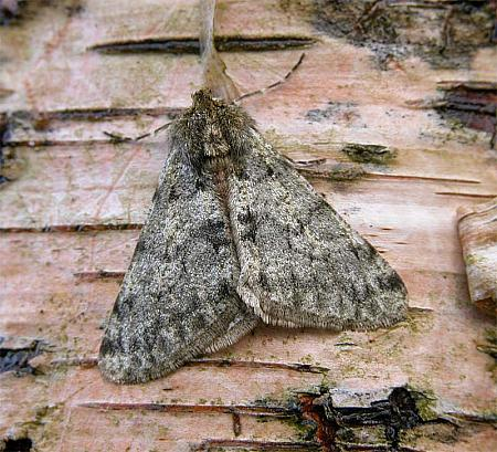 70.247 Pale Brindled Beauty, Phigalia pilosaria, Co Wicklow