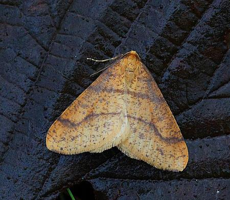 Scarce Umber, Agriopis aurantiaria, Co Donegal