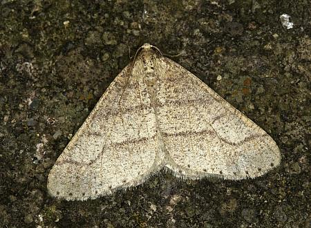 70.255 Dotted Border, Agriopis marginaria, Co Louth