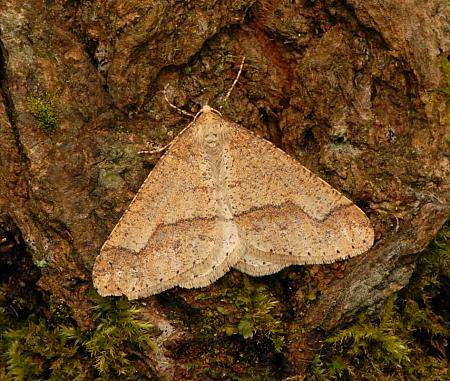 70.255 Dotted Border, Agriopis marginaria, Co Wexford