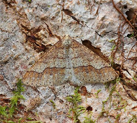 Dotted Border, Agriopis marginaria, Co Leitrim
