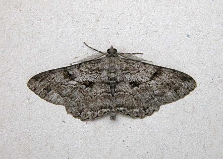 70.258 Willow Beauty, Peribatodes rhomboidaria, Co Wicklow