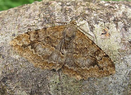Mottled Beauty, Alcis repandata, Co Donegal