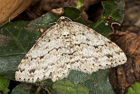 70.270 Engrailed, Ectropis crepuscularia, Co Louth